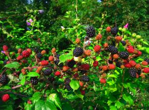 photo blackberry bush
